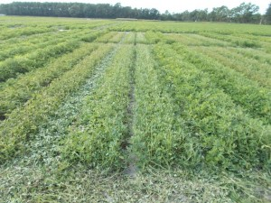 peanut mowing trial