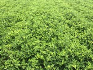 peanut vines in field