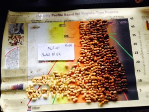 peanuts (variety FLA-07) from pod blasting on 9/8/14