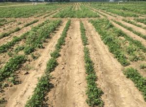 Peanut weed management test plot.