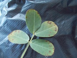 Thimet injury on peanut leaves (planted May 3)