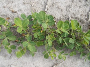 treated peanut plant showing some thrips damage