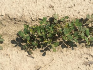 injury from thrips and Cobra application