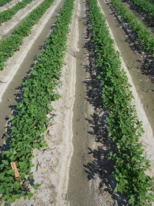 peanut field treated with Admire Pro and Orthene