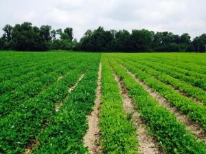 nitrogen deficient peanut field