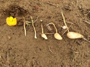 Development of peanut planted May 22