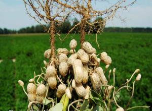 harvested peanut plant