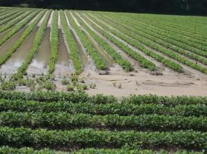 PPeanut in flooded soil in June.