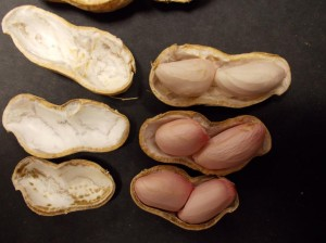 peanut maturity