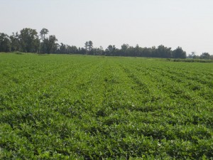 Runner market type peanuts near Kinston, North Carolina on August 15