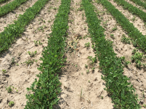 Agent 8. Peanut test plot for Early Post emergent herbicide sprays in peanut.