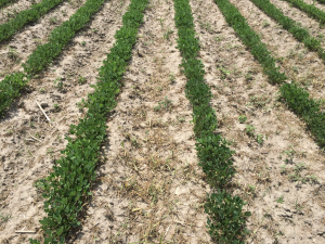Agent 17. Peanut test plot for Early Post emergent herbicide sprays in peanut.