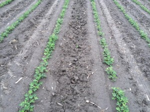 Figure 5. Peanut planted May 18 with image recorded June 5.