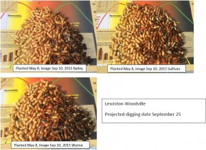 Cover photo for Maturity Profile for Peanuts at Lewiston on September 10