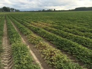 Sporadic spider mite infestation in peanut under hot and dry conditions