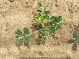 Image of peanut seedlings experiencing stress