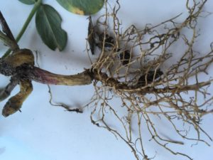 Image of up close look at j-rooting in Bailey